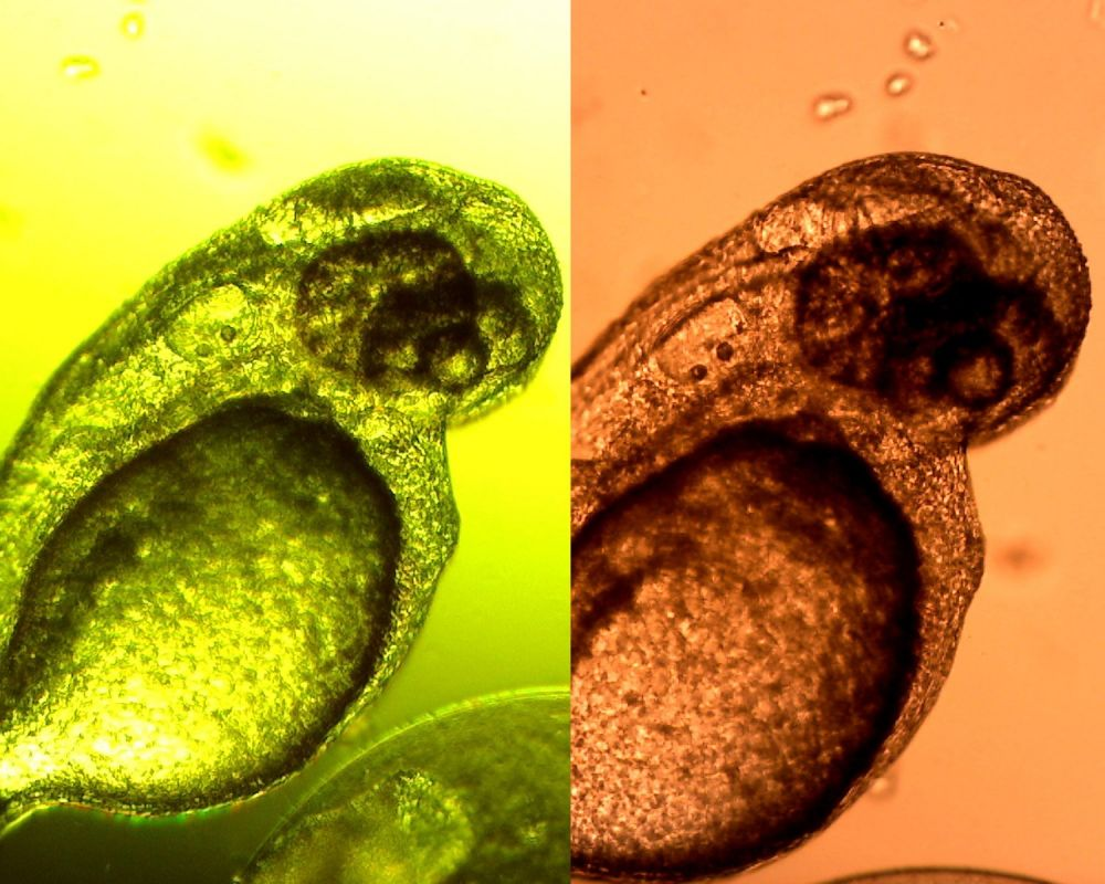 Using the Dino-Lite for Zebrafish Research